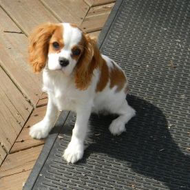 Betsy - Cavalier King Charles Spaniel